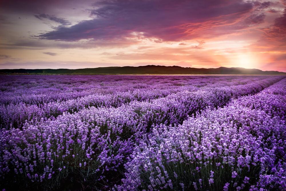 campo de lavanda representando as cores violeta ou roxo